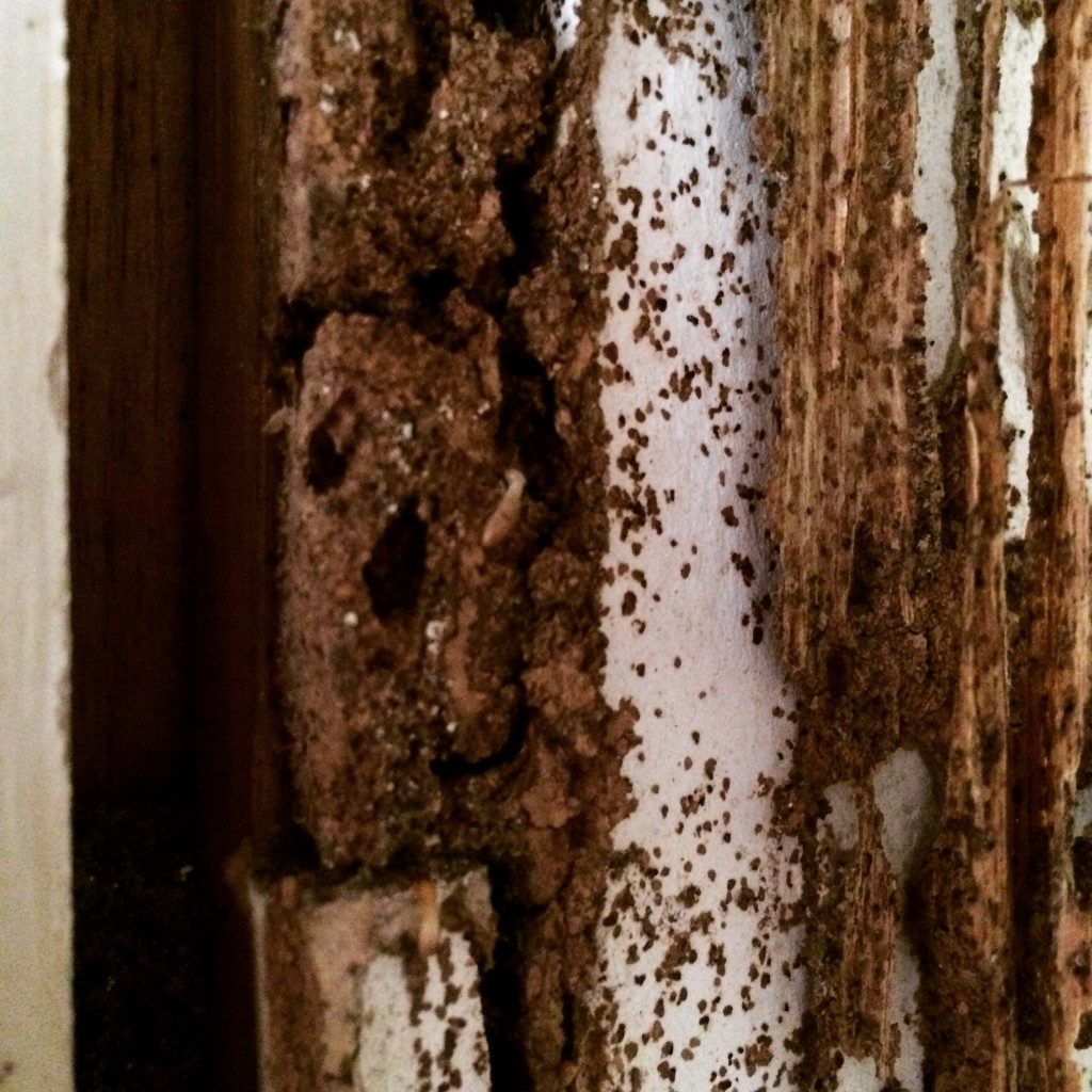 termite activity in walls